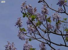 Paulownia tomentosa -Blauglockenbaum-