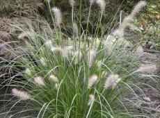 Pennisetum alopecuroides 'Hameln' -Lampenputzergras-
