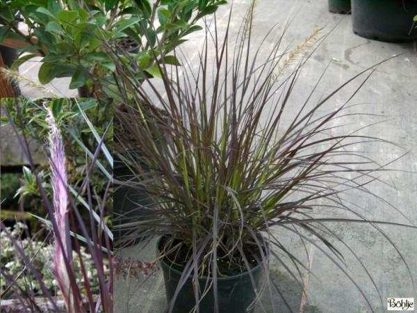 Pennisetum setaceum 'Red Fox' -rotes Federborstengras-