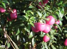 Pernettya mucronata 'Purpurea' -Torfmyrte- (Heidekrautgewächs)