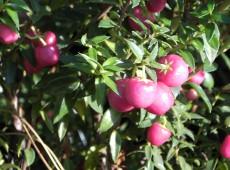 Pernettya mucronata 'Purpurea' -Torfmyrte-