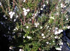 Pernettya mucronata weiß -Torfmyrte- (Heidekrautgewächs)