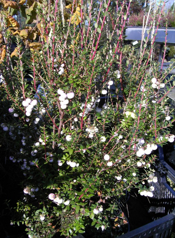 Pernettya mucronata weiß -Torfmyrte-
