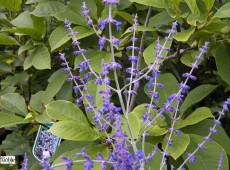 Perovskia atriplicifolia 'Blue Spire' -Blauraute-