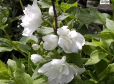 Philadelphus 'Manteau d'Hermine' -Gartenjasmin-