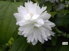 Philadelphus 'Minnesota Snowflake' -Pfeifenstrauch-