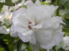 Philadelphus 'Snowgoose' -Gartenjasmin-
