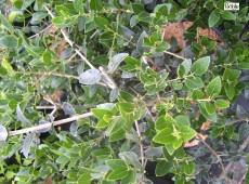 Phillyrea latifolia -Steinlinde-