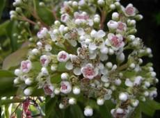 Photinia davidiana (Stranvaesia davidiana ) -Lorbeermispel-