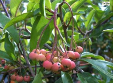 Photinia davidiana 'Compacta' (Stranvaesia davidiana 'Compacta')