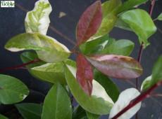 Photinia davidiana 'Palette' (Stranvaesia davidiana 'Palette') -buntlaubige Glanzmispel-