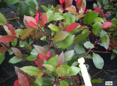 Photinia fraseri 'Little Red Robin' -Glanzmispel-