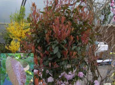 Photinia fraseri 'Red Robin' -Glanzmispel-
