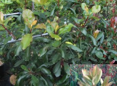 Photinia serratifolia -chinesiche Glanzmispel-