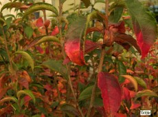 Photinia villosa -Scharlach Glanzmispel-