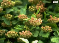 Physocarpus opulifolius -Blasenspiere-