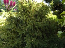 Picea abies 'Acrocona' -Zapfenfichte-