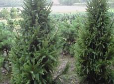 Picea abies 'Columnaris' -Säulenfichte-