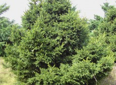 Picea abies 'Compacta' -gemeine Fichte-
