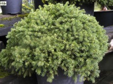 Picea abies 'Echiniformis' -Igelfichte-