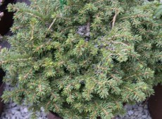 Picea abies 'Little Gem' -Kissenfichte-