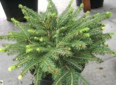 Picea abies 'Nidiformis' -Nestfichte-