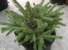 Picea abies 'Pumila Glauca' -Zwergform-