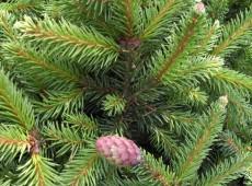 Picea abies 'Ronja'               Böhlje Auslese