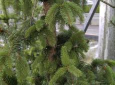 Picea abies 'Virgata Ariane'