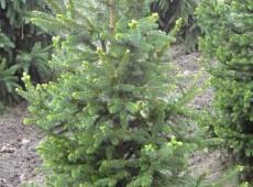 Picea abies 'Will's Zwerg' -Fichte-