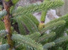 Picea bicolor (alcoquiana) -Alcockfichte-