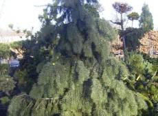 Picea breweriana -Mähnenfichte-