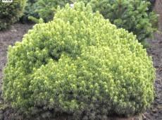 Picea glauca 'Alberta Globe' -Zwergkugelfichte-