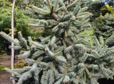 Picea glauca 'Coerulea' -Fichte-