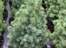 Picea glauca 'Conica' -Zuckerhutfichte-