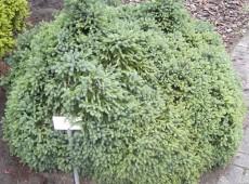Picea glauca 'Echiniformis' -blaue Igelfichte-