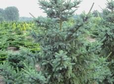 Picea mariorika
