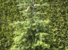 Picea omorika -serbische Fichte-