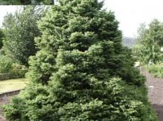 Picea omorika 'Nana' -serbische Kegelfichte-