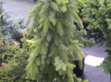 Picea omorika 'Pendula Bruns' -Hängeform der serbischen Fichte-