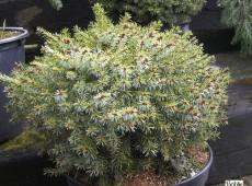 Picea omorika 'Treblitzsch' -Zwergform der serbischen Fichte-
