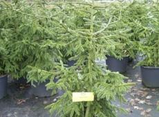 Picea orientalis 'Aurea' -gelbe Kaukasusfichte-