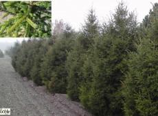 Picea orientalis 'Gracilis'