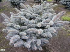 Picea pungens 'Glauca Globosa' -blaue Stechfichte-