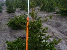 Picea pungens 'Lucky Strike' -veredelte Stechfichte-