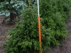 Picea purpurea -Purpurfichte-