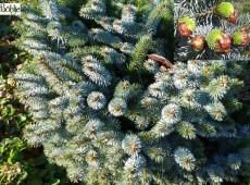 Picea sitchensis 'Silberzwerg' -Zwergform der Sitka-Fichte-