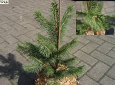 Picea smithiana -Himalaya - Fichte-