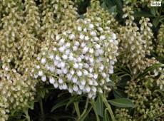 Pieris japonica 'Debutante' - Lavendelheide / Schattenglöckchen -