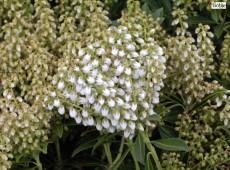 Pieris japonica 'Debutante' - Lavendelheide / Schattenglöckchen - (Heidekrautgewächse)